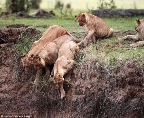 Anne aslanı o anda çektiler! 2