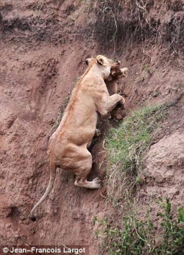 Anne aslanı o anda çektiler! 4