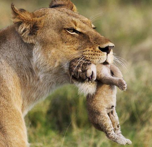 Anne aslanı o anda çektiler! 7