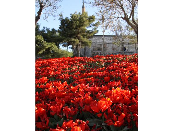 Şehri renklendiren Laleler 1