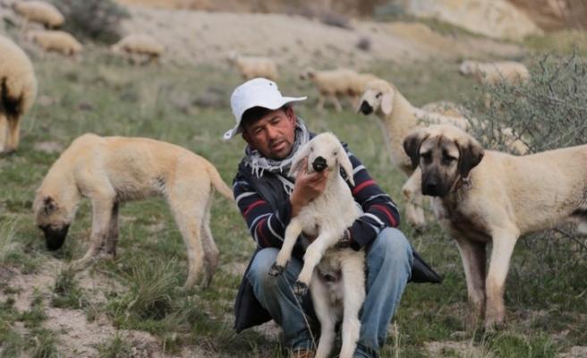 Sürü Afganistanlı  çobanlara emanet