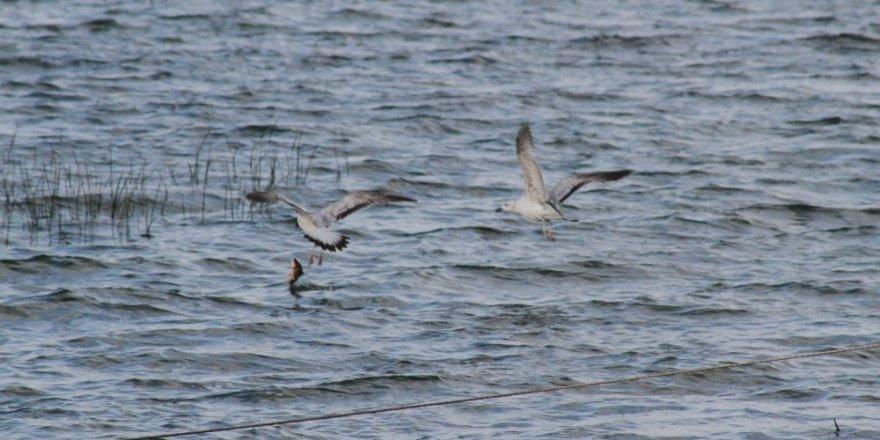 Beyşehir Gölü'nde martıların balık mücadelesi