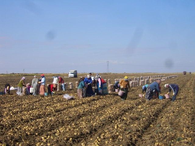Patates üretiminde Niğde  birinci, Konya ikinci sırada