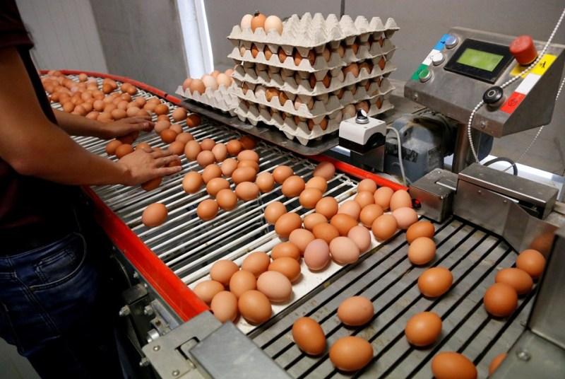 Yumurtada kriz: 17 milyon tavuk kesildi 1 milyonu telef edildi!