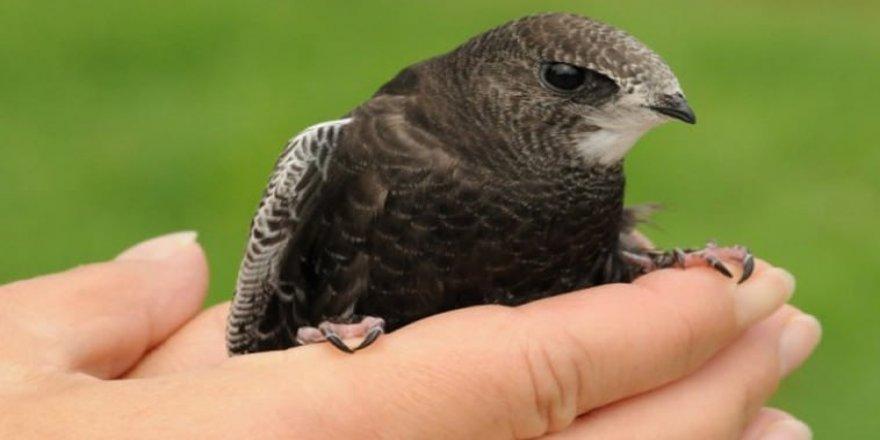Cami avlusunda ebabil kuşu buldu!