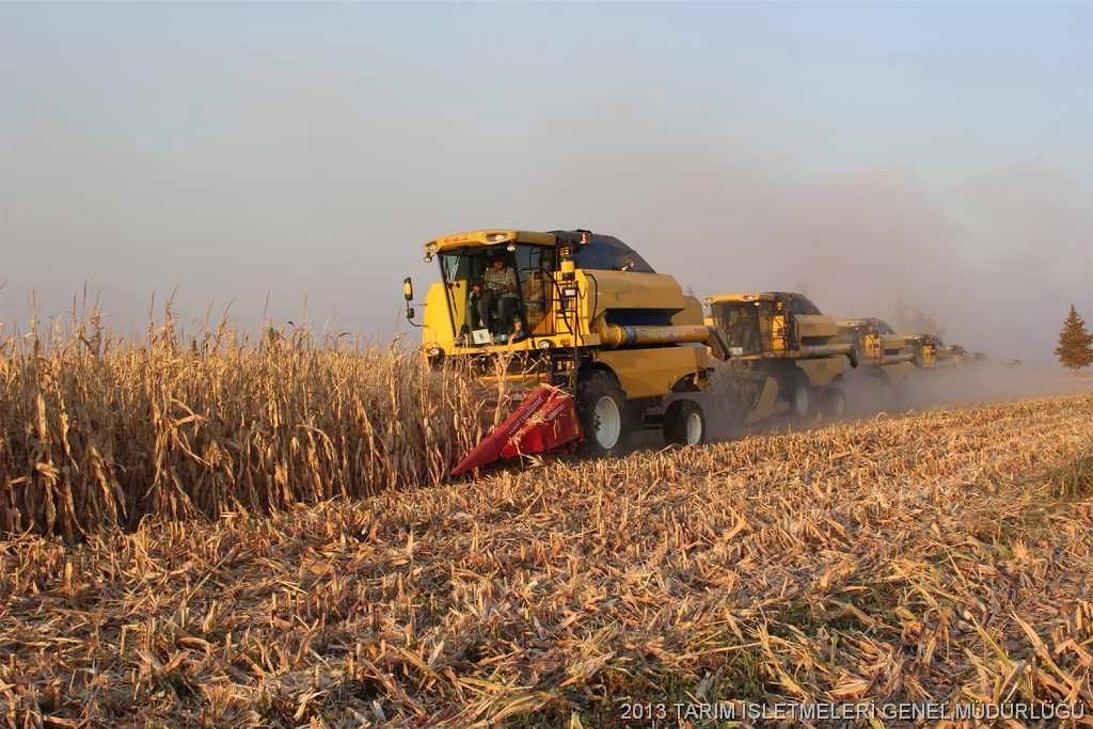 Mısır çiftçisi tüccara teslim ediliyor