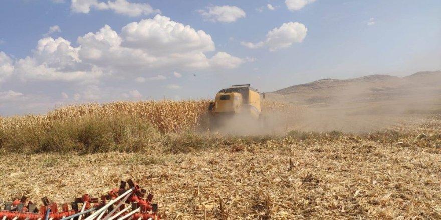 Mazıdağı'nda mısır hasadı başladı