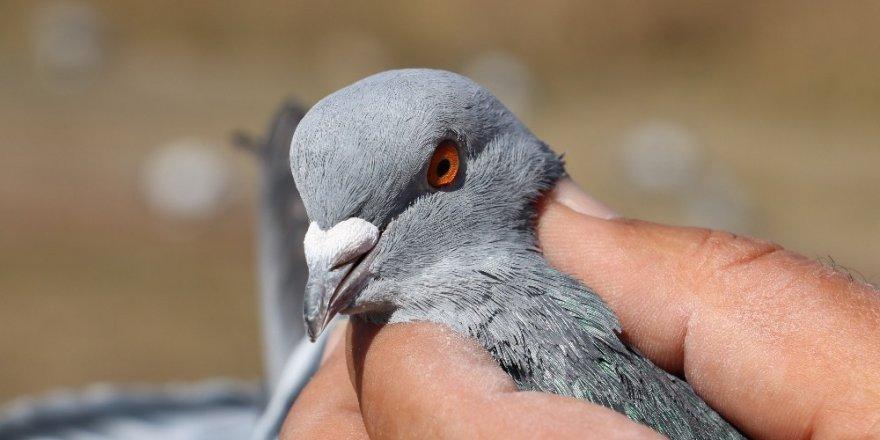 Güvercinleri tutup santim santim ölçüyorlar