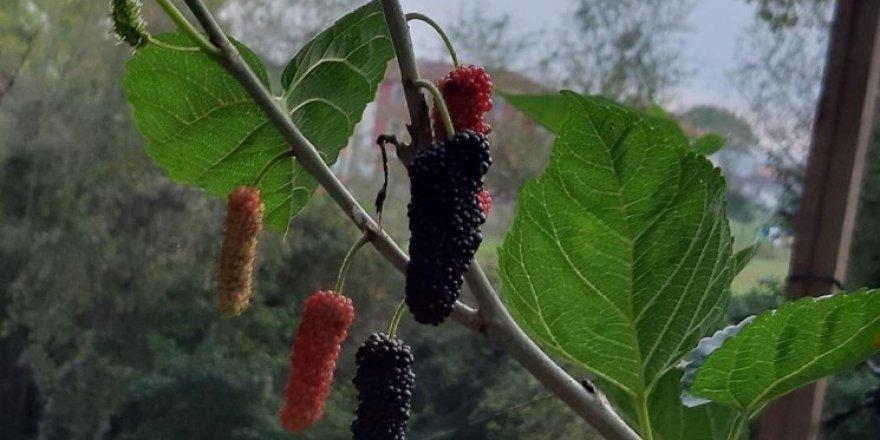Ekim ayında meyve veren dut ağacı şaşırttı
