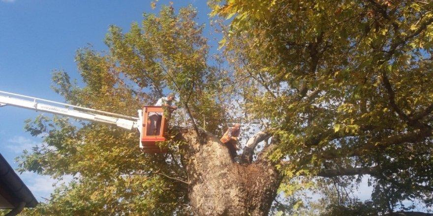Asırlık çınar ağacına bakım
