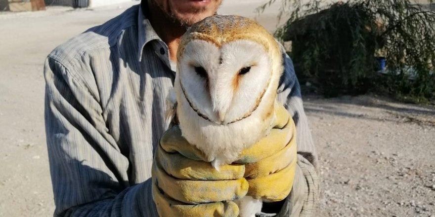 Peçeli baykuş tedavi altına alındı