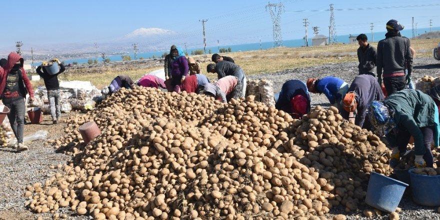 Türkiye'nin yüzde 17'lik patates tohumu ihtiyacını Ahlat karşılıyor