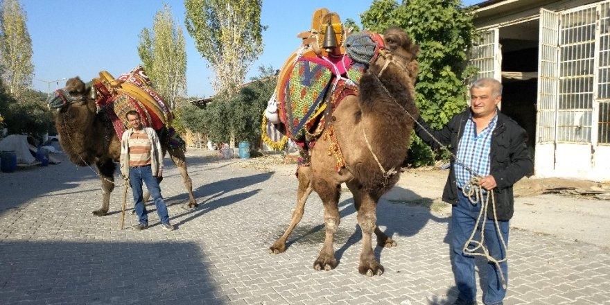 Buldan'da develer güreşlere hazırlanıyor