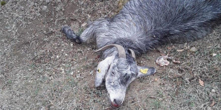 Kırkağaç'ta çakallar 15 keçiyi telef etti