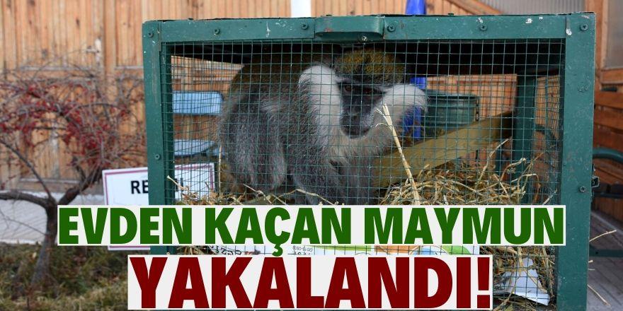 Evden kaçan maymun girdiği ahırda yakalandı