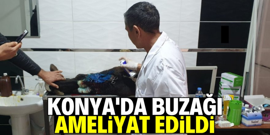 Konya'da 6 bacaklı buzağı ameliyat edildi