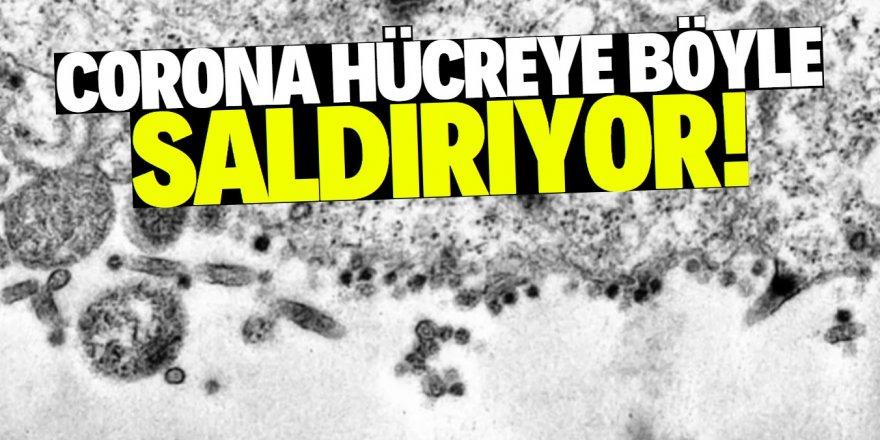 Koronavirüsün hücreye saldırı anı böyle görüntülendi
