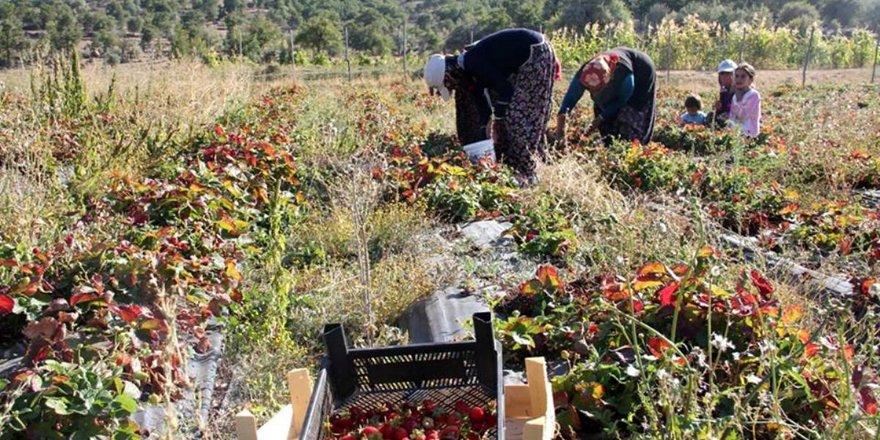 Seydişehir'de çilek üretimi