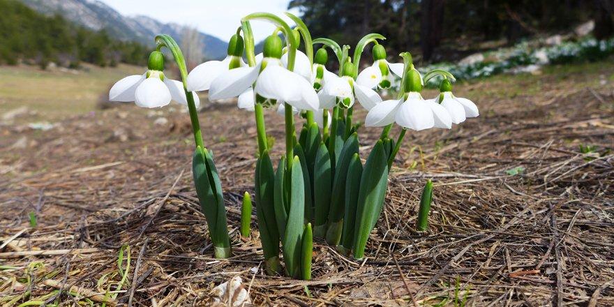 Baharın müjdecisi kardelenler Toroslarda çiçek açtı