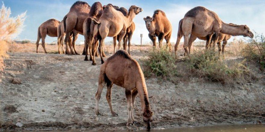 15 bin Katar devesi sınır dışı edildi