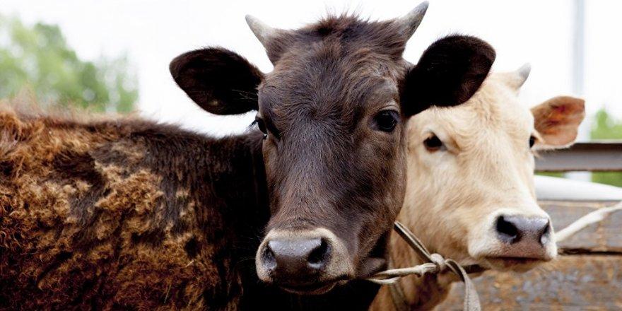 Kırmızı et üretimi yüzde 12.6 azaldı