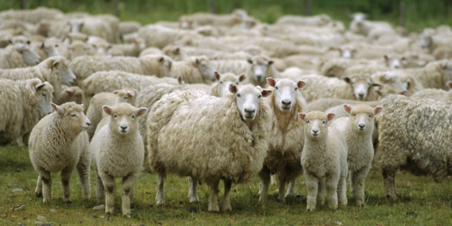 300 koyun projesine başvurular başladı