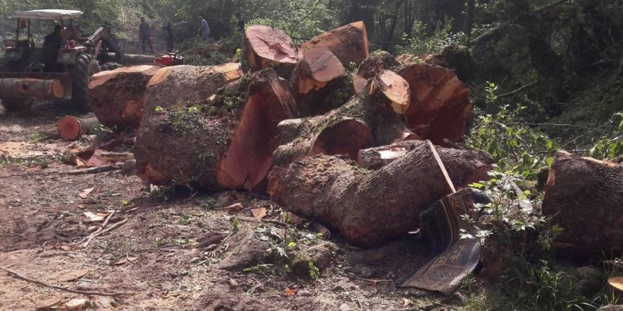 Sakarya'da 300 yıllık ağaçları kestiler, halk ayaklandı
