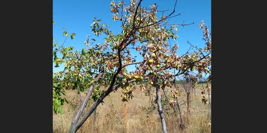 Meyveler susuzluktan kurumaya terk edildi