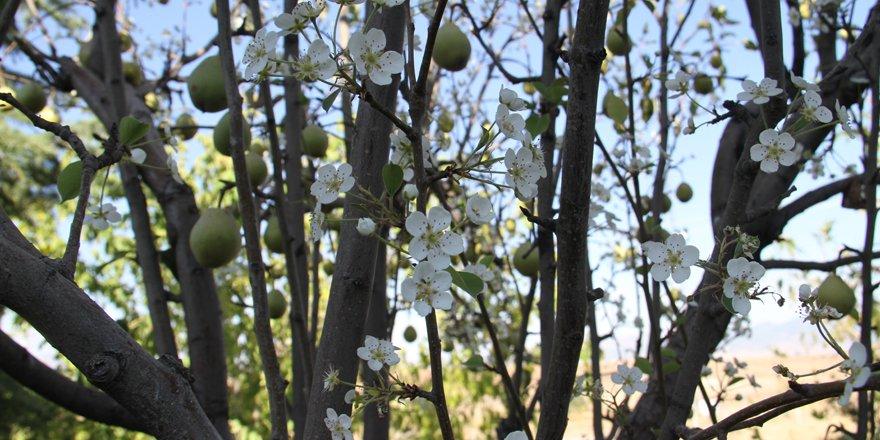 Armut ağacı eylülde çiçek açtı