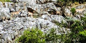 Dağ keçileri yavrularıyla görüntülendi