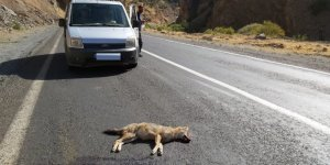 Aracın çarptığı tilki telef oldu
