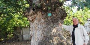 Tarihi meşe ağacı can çekişiyor