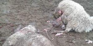 Aç kalan kurtlar koyunları telef etti