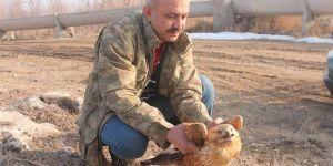Ağır kış şartları kızıl şahini de vurdu
