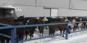 Kulu'da hayvan sahiplerine yem uyarısı