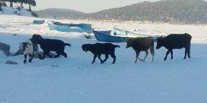 Kurt tehlikesi nedeniyle adalardaki hayvanlar buz üzerinde yürütülüyor