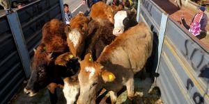 Yalıhüyük'de çiftçilere hibe hayvan dağıtımı