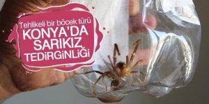 Ereğli'de vatandaşları et yiyen 'Sarıkız' örümceği korkusu sardı
