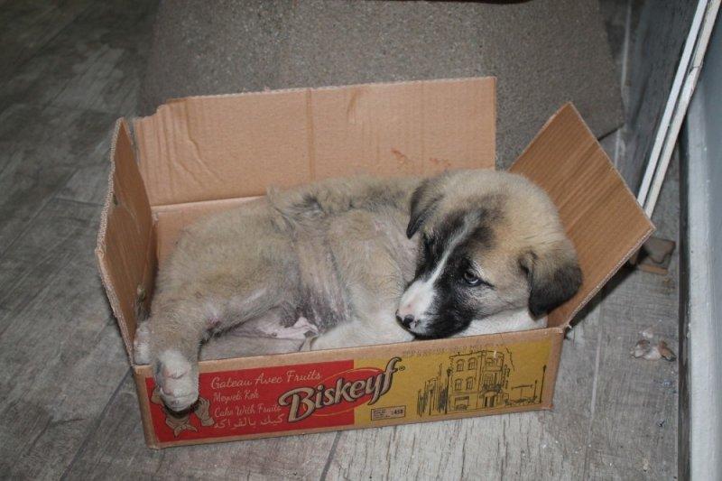 Vatandaşlar, patisi kırık yavru köpek için seferber oldu
