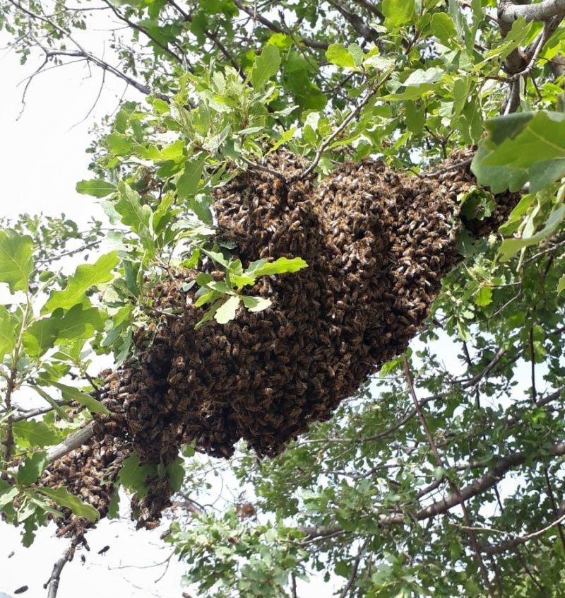 Bal arıları oğul verdi