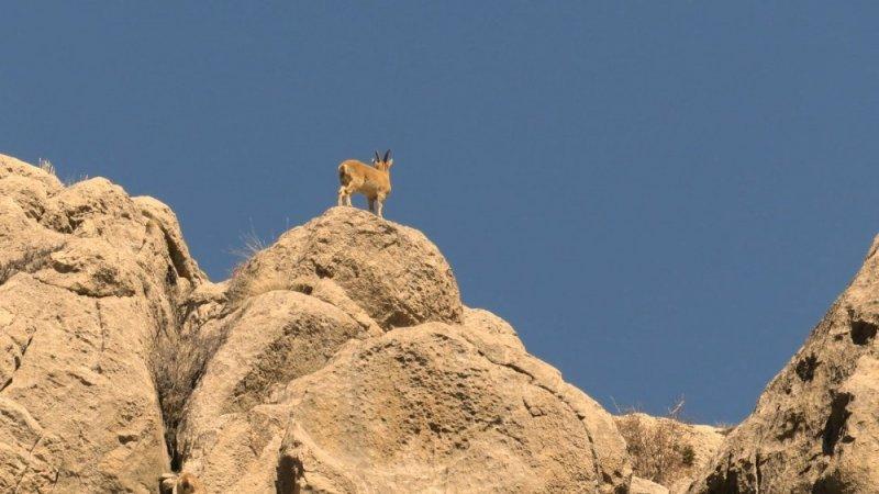 Nesli tükenme tehlikesinde olan dağ keçileri Aladağlar'da görüntülendi