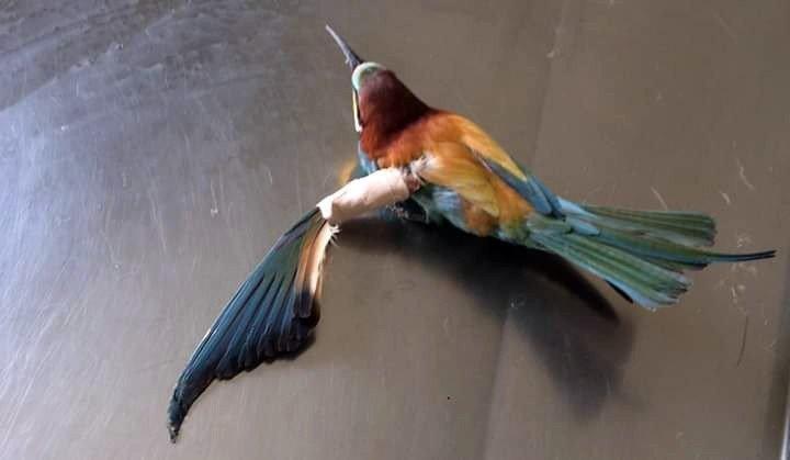 Yaralı arı kuşu tedavi edildi