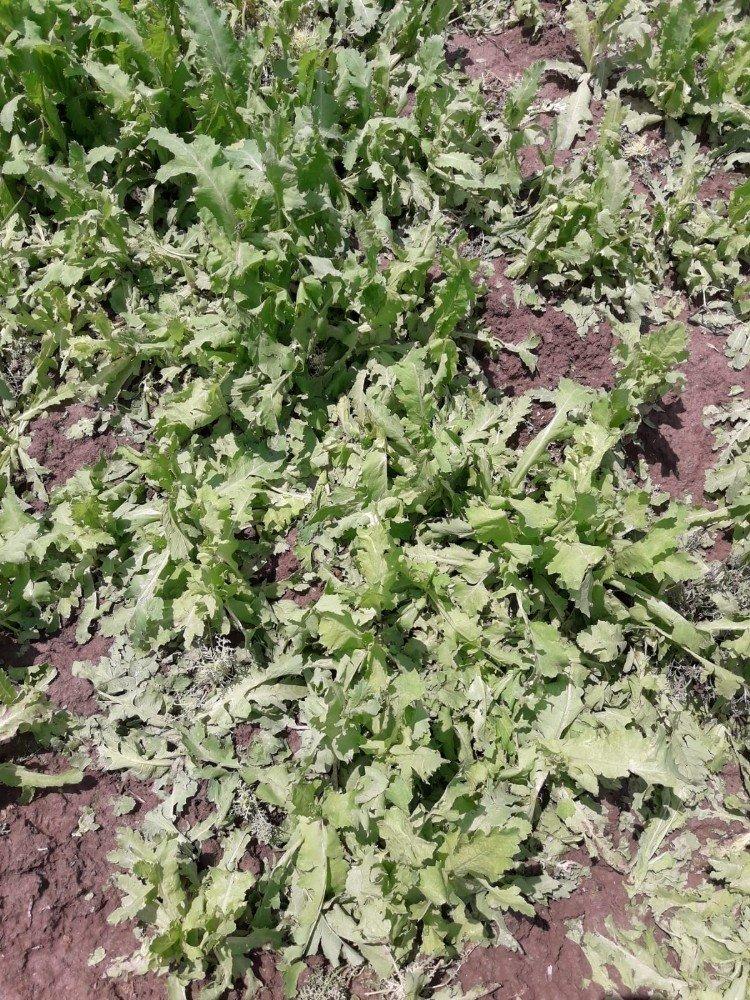 Şuhut'ta yağan dolu ekili haşhaş alanlarına zarar verdi
