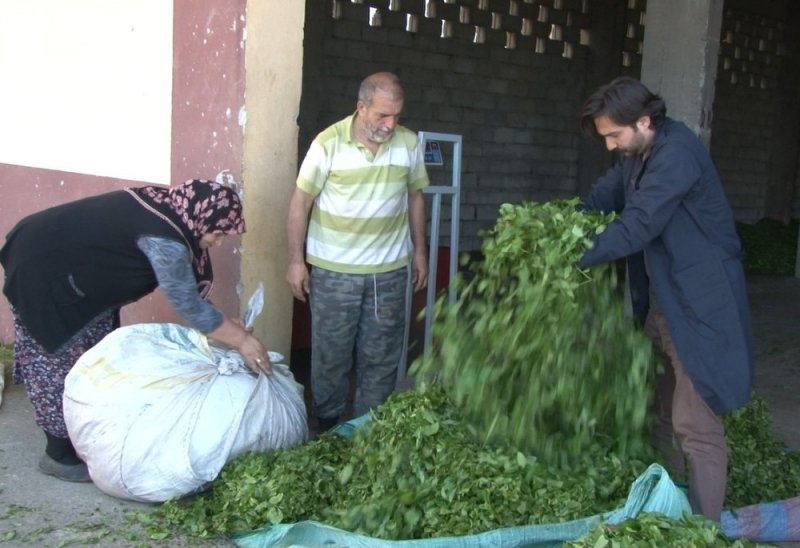 ÇAYKUR son 20 yılın en fazla çayını aldı