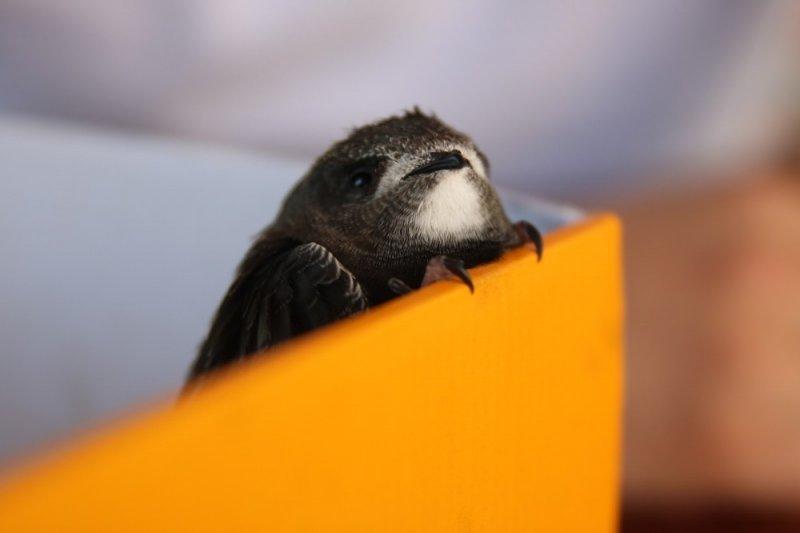 Yolda bulunan yavru Ebabil Kuşu koruma altına alındı