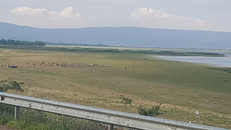 Göl suyu çekildi, yerini koyun sürüleri aldı