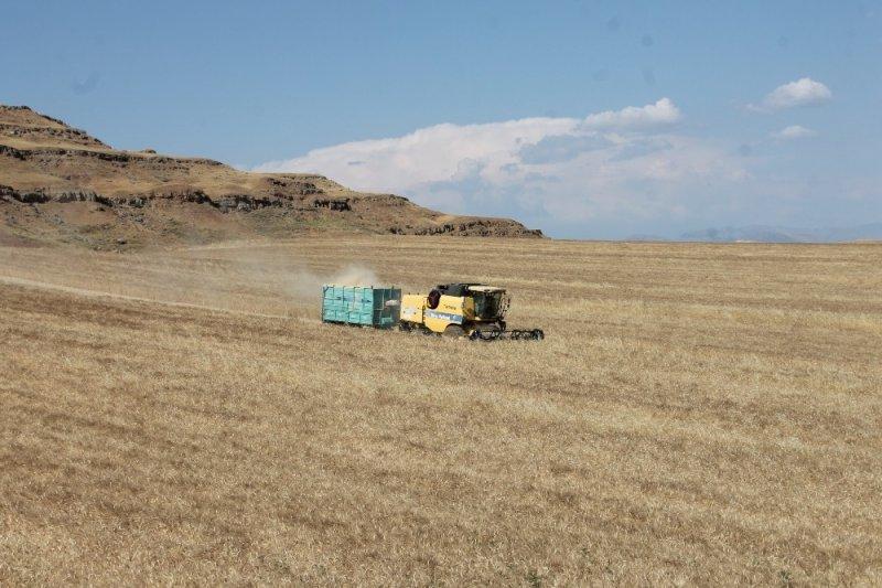 Siirt'te yüzde 70 verimi artan buğday, çiftçinin yüzünü güldürdü