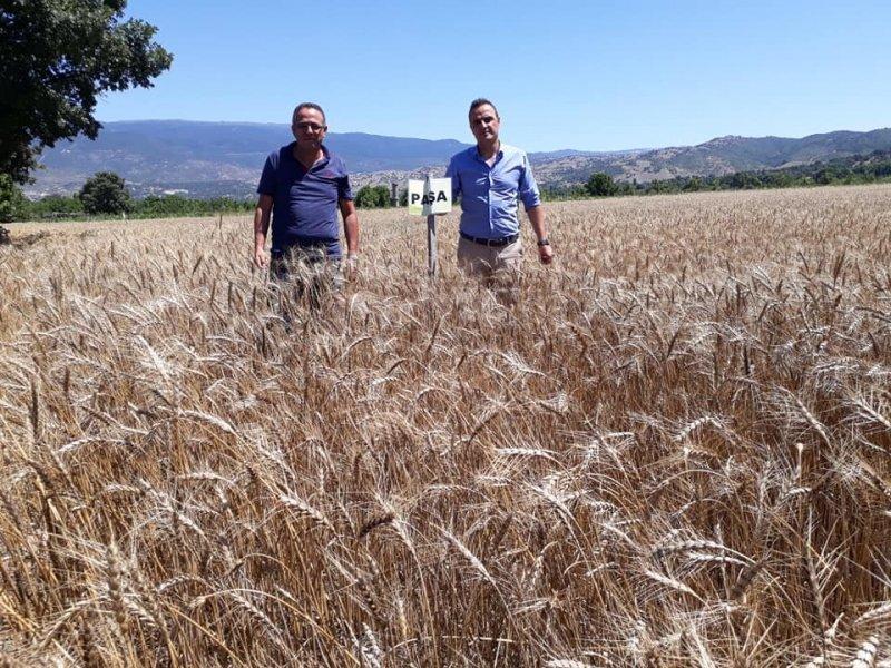 Simav'da buğday çeşit denemeleri