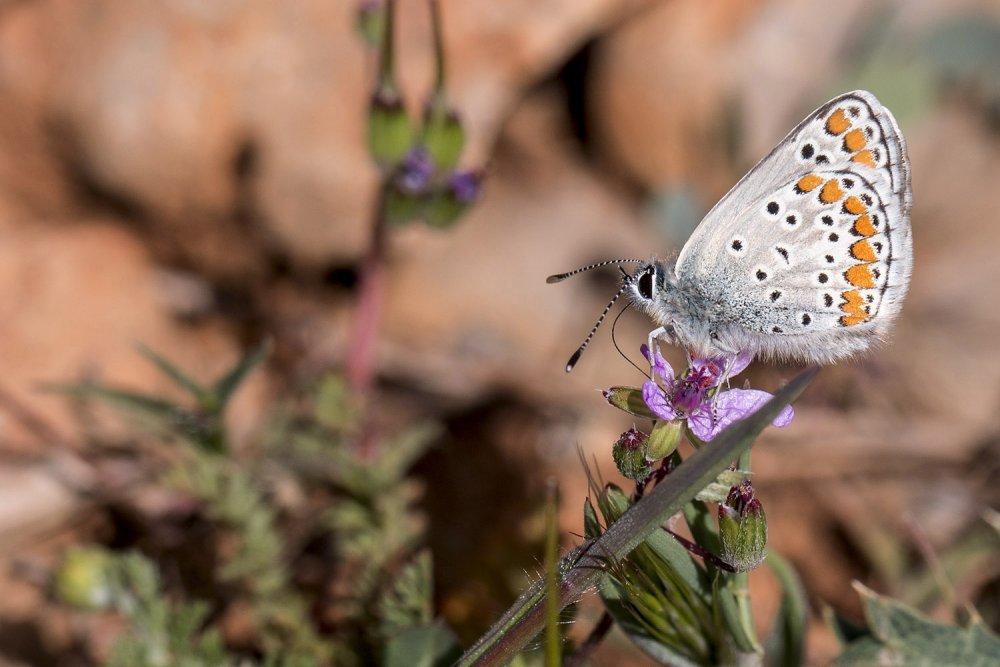 beysehir-golu-ve-cevresinde-167-tur-kelebek-yasiyor-2652-dhaphoto5.jpg