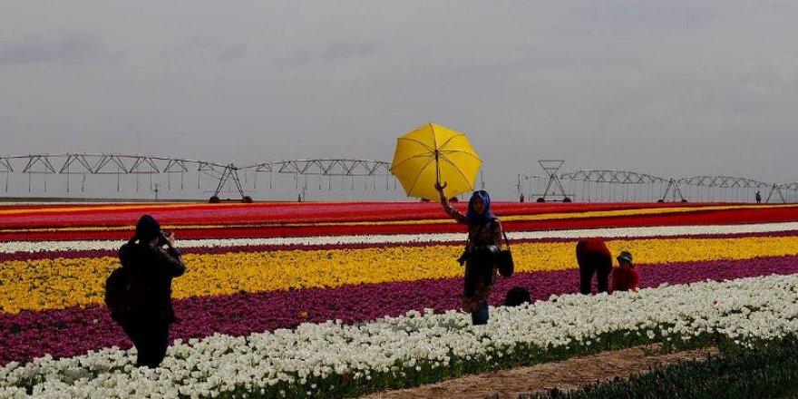 Konya'da lale tarlası büyülüyor